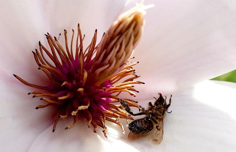 včelí mor